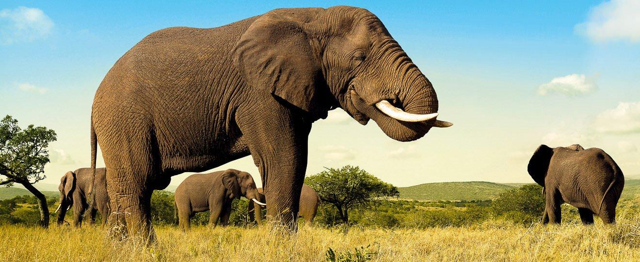 Elefanten, die Verwandten der Mammuts (© FVA Südafrika / Chamäleon)