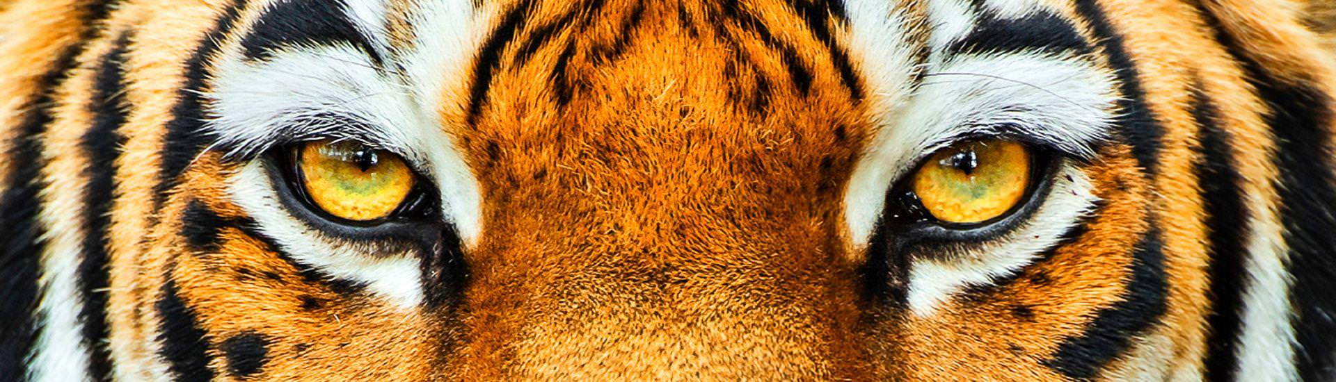Tiger, Close up (© Christine Gehrig, iStockphoto.com / Chamäleon)